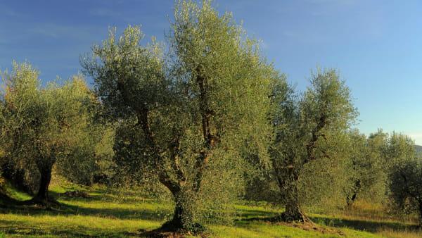 Giornata internazionale dell'Olivo - 26 novembre 2020 - Mezzane di Sotto - Verona - Festa dell'Olio