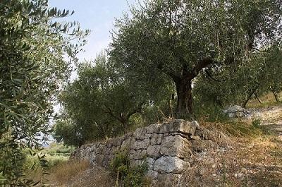 Festa dell'Olio Online - Noemi Pizzighella di Frantoio Sisure - Le Guaite di Noemi - Biblioteca Andrea Porta - Mezzane di Sotto - Verona - ulivi ---